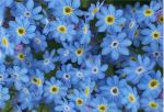forget_me_not_by_elegaer1.jpg