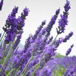 lavender-eo-pic