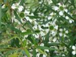 lemon tea tree 2