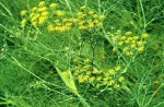 fennel sweet 2
