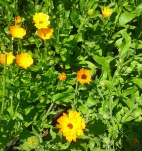 Calendula flowers, ripe for the picking