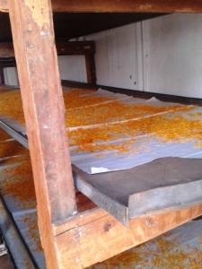 Calendula petals drying in one of the drying sheds