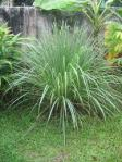 citronella and lemongrass