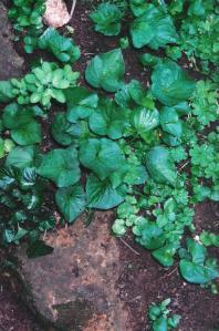 violet-leaf