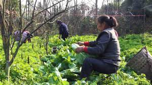 organic-farming-in-china-2